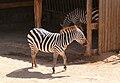 Zebra-JZ78.jpg