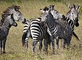 Zebras - Mikumi National Park - Tanzania - 01 (8892448950).jpg