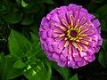 Zinnia Flowers گل آهاری 09.jpg