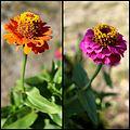 Zinnia fleurs.jpg