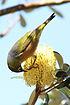 Zosterops lateralis -Phillip Island, Victoria, Australia-8.jpg