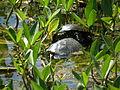 Zwei Wasserschildkröten.JPG