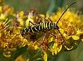 """""""bumble beetle"""" (2839675712).jpg"""