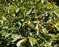 'Aesculus hippocastanum' horse-chestnut conker tree at Feeringbury Manor, Feering Essex England 8.jpg
