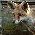 'Freda' Fox (15225213661).jpg