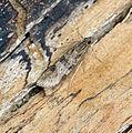 (1398) Nomophila noctuella (21136446422).jpg