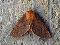 (1923) Feathered Thorn (Colotois pennaria) Aberration (8184736252).jpg