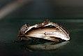 (2006) Lesser Swallow Prominent (Pheosia gnoma) (3532986419).jpg