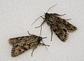 (2243) Early Grey (Xylocampa areola) (5551068377).jpg