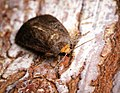(2299) Mouse Moth (Amphipyra tragopoginis) (30866197461).jpg