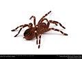 (Pet) Brazilian whiteknee tarantula (Theraphosidae, Acanthoscurria geniculata) (23486438558).jpg