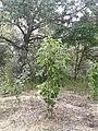 Álamo negro (Populus nigra L.)Laguna el Raso,Velilla de San Antonio.jpg