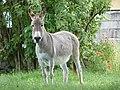 Âne gris dun en Mayenne (3).jpg