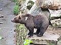 Ós bru (Ursus Arctos) a l'Aran Park, Bòssost, Vall d'Aran, Catalunya, Pirineus.jpg