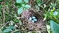 Œufs dans un nid.jpg