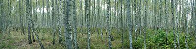 Березовий ліс панорама.JPG