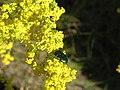 Бронзовка золотиста (Cetonia aurata), Зміїні острови.jpg