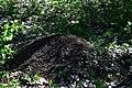 Вепрове Мурашник рудих лісових мурах DSC 0573.jpg