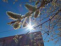 Весна, ива в цвету - panoramio (1).jpg