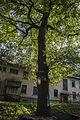 Віковий дуб-красень 02.jpg