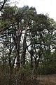 Вікові сосни в Ободівському парку.jpg