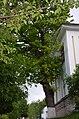 Дуб звичайний, Шевченка, 61. Фото 1.jpg