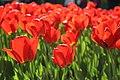 Елагин парк, фестиваль тюльпанов555.jpg