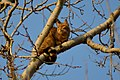 Кіт лісовий (Felis silvestris).jpg