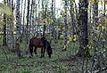 Лошадь в лесу - panoramio.jpg