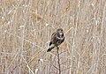 Обыкновенный канюк - Buteo buteo - Common buzzard - Обикновен мишелов - Mäusebussard (31666618473).jpg