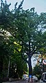 Партизанський дуб, DSC 0150 stitch.jpg