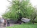 Старовинна груша на Карнаватці 10.jpg