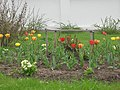 Тюльпаны на клумбе в Варлаамо-Хутынском монастыре 04.JPG