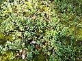 """Чорниці і брусниці на межі """"Поліського природного заповідника"""" 02.jpg"""