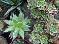 گلخانه کاکتوس دنیای خار در قم. کلکسیون انواع کاکتوس 39.jpg