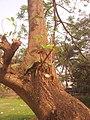 কাঁটা মান্দার গাছ সাভার, ঢাকা erythrina fusca.jpg
