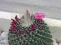 仙人掌-仙人球 Echinopsis tubiflora -香港花展 Hong Kong Flower Show- (9198099073).jpg