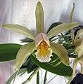 卡特蘭屬 Cattleya forbesii -香港青松觀蘭花展 Tuen Mun, Hong Kong- (9222650440).jpg