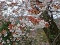 吉野山 中千本にて Wild cherry blossoms in Naka-sembon of Yoshino-yama 2013.4.03 - panoramio.jpg