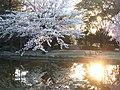 夕日に櫻 - panoramio.jpg