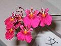 文心蘭 Oncidium Passionata Red Galaxy -香港沙田洋蘭展 Shatin Orchid Show, Hong Kong- (9207603860).jpg