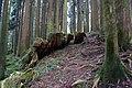樹痕 Relics of Rotten Stump - panoramio.jpg