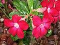 沙漠玫瑰(天寶花) Adenium obesum -新加坡花展 Singapore Flower Show- (9207616200).jpg
