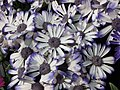 瓜葉菊(富貴菊) Pericallis hybrida (Senecio cruentus) -香港花展 Hong Kong Flower Show- (9255188580).jpg