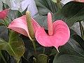花燭 Anthurium andraeanum Evanna -香港公園 Hong Kong Park- (9193427048).jpg