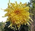 菊花-金鳳凰 Chrysanthemum morifolium 'Golden Phoenix' -香港雲泉仙館 Ping Che, Hong Kong- (12099276693).jpg