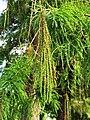 落羽杉 Taxodium distichum 20200920091419 01.jpg