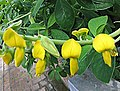 豬屎豆屬 Crotalaria nitens -比利時國家植物園 Belgium National Botanic Garden- (9216071550).jpg