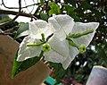 軟枝白花光葉子花 Bougainvillea glabra 'Ratana White' -深圳蓮花山公園 Shenzhen Lianhuashan Park, China- (11204065623).jpg