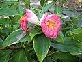 閉鞘薑屬 Costus phyllocephalus -新加坡植物園 Singapore Botanic Gardens- (15347474227).jpg
